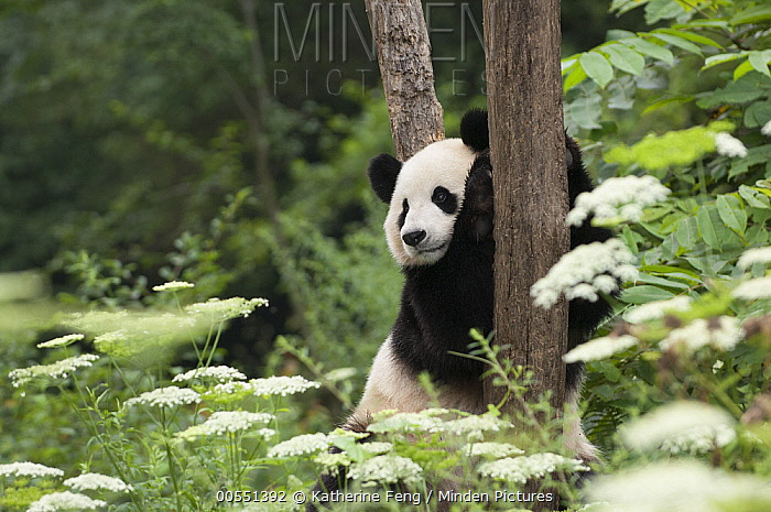 Giant Panda (Ailuropoda melanoleuca) three year old in forest, Wolong National Nature Reserve, Sichuan, China  -  Katherine Feng