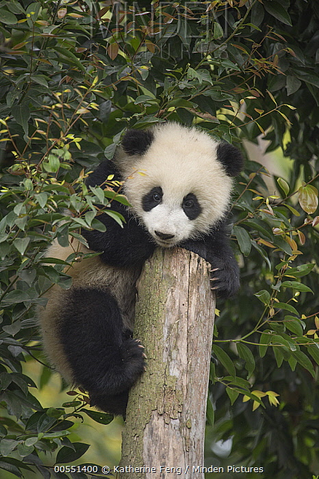 Giant Panda (Ailuropoda melanoleuca) eight month old cub on tree stump, Chengdu, Sichuan, China  -  Katherine Feng