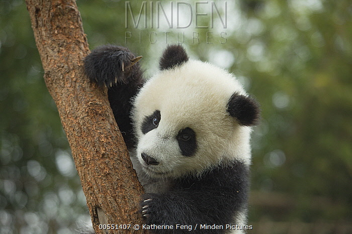 Giant Panda (Ailuropoda melanoleuca) eight month old cub in tree, Chengdu, Sichuan, China  -  Katherine Feng
