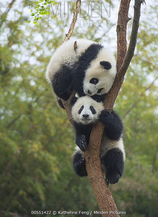 Giant Panda (Ailuropoda melanoleuca) eight month old cubs playing in tree, Chengdu, Sichuan, China  -  Katherine Feng