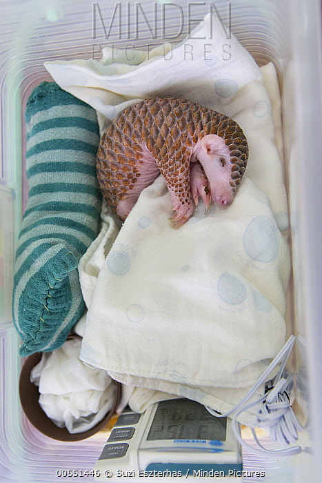 Chinese Pangolin (Manis pentadactyla) twelve day old orphaned baby sleeping, Taipei Zoo, Taipei, Taiwan  -  Suzi Eszterhas