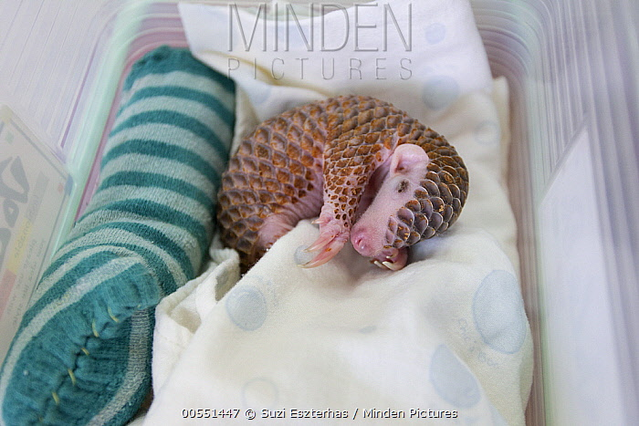 Chinese Pangolin (Manis pentadactyla) twelve day old orphaned baby sleeping, Taipei Zoo, Taipei, Taiwan  -  Suzi Eszterhas