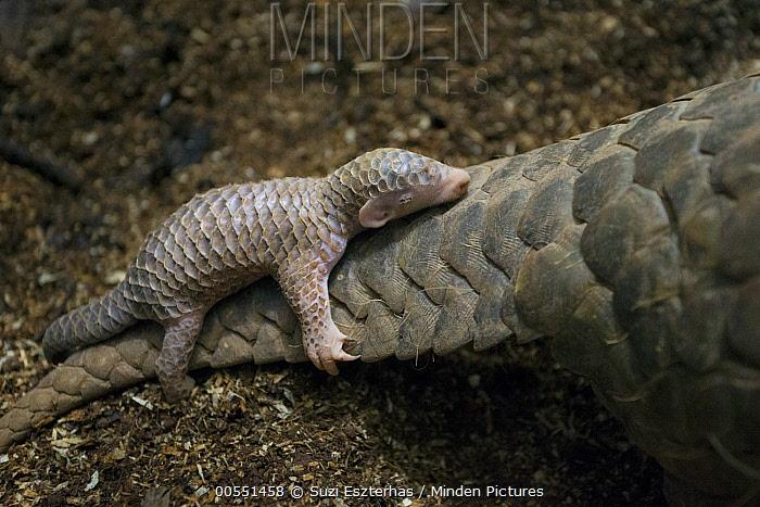 Chinese Pangolin (Manis pentadactyla) two week old baby clinging to mother, Taipei Zoo, Taipei, Taiwan  -  Suzi Eszterhas
