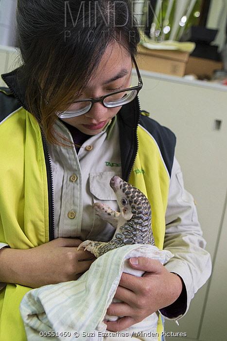 Chinese Pangolin (Manis pentadactyla) biologist, Hsuan yi Lo, holding three month old orphaned baby, Taipei Zoo, Taipei, Taiwan  -  Suzi Eszterhas