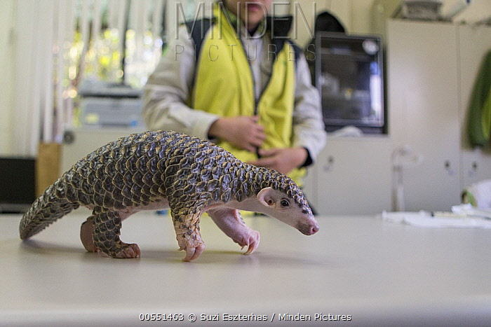 Chinese Pangolin (Manis pentadactyla) three month old orphaned baby walking on table, Taipei Zoo, Taipei, Taiwan  -  Suzi Eszterhas
