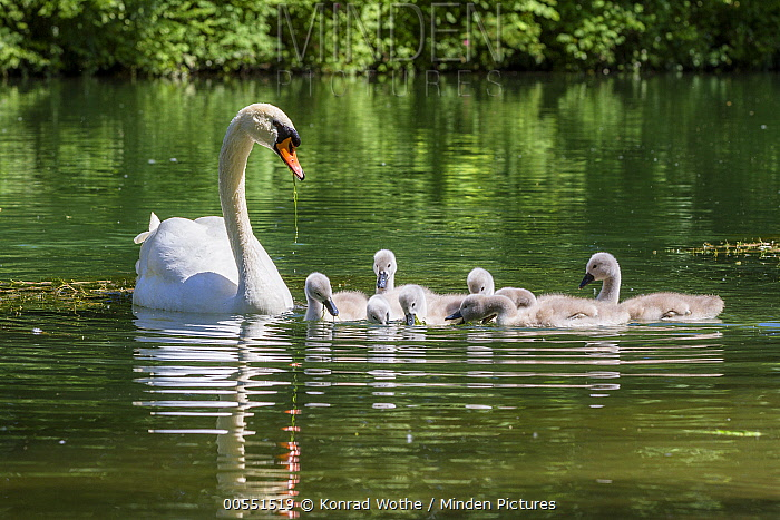 Mute Swan (Cygnus olor) parent with cygnets, Bavaria, Germany