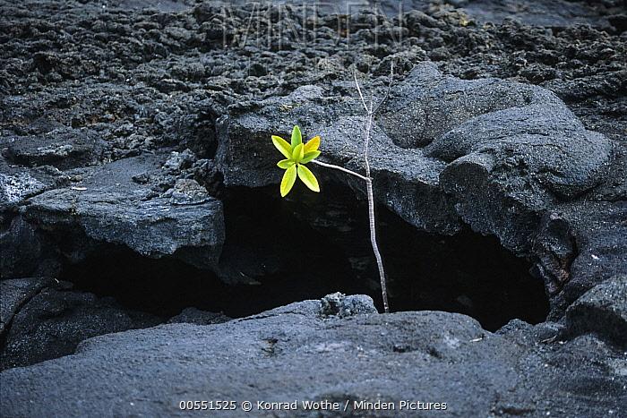 Mangrove shoot in lava field, Sullivan Bay, Santiago Island, Galapagos Islands, Ecuador