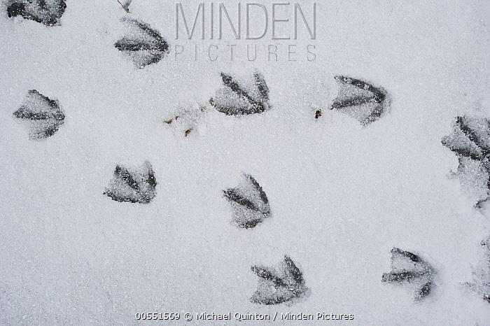 Canada Goose (Branta canadensis) tracks in snow, Alaska