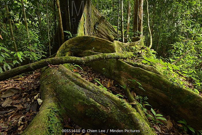 White Lauan (Parashorea malaanonan) buttress roots, Danum Valley Field Center, Sabah, Borneo, Malaysia  -  Ch'ien Lee
