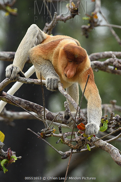 Proboscis Monkey (Nasalis larvatus) male feeding on Indian Almond (Terminalia catappa) leaves, Malaysia  -  Ch'ien Lee