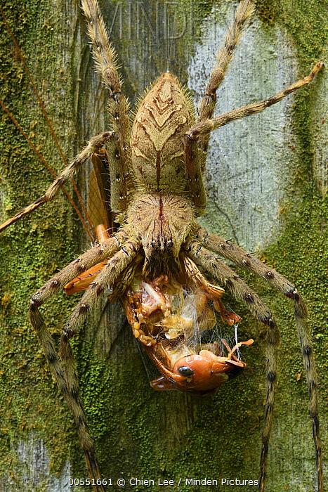 Giant Crab Spider (Sparassidae) feeding on Raspy Cricket (Gryllacrididae), Mulu National Park, Borneo, Malaysia  -  Ch'ien Lee