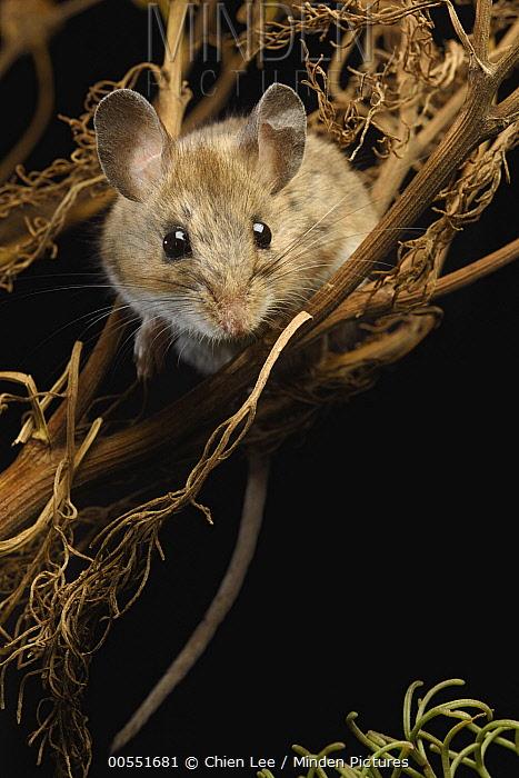 Deer Mouse (Peromyscus maniculatus) in Giant Coreopsis (Coreopsis gigantea), California  -  Ch'ien Lee