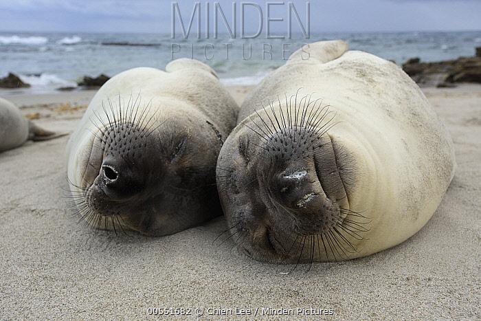 Northern Elephant Seal (Mirounga angustirostris) juveniles sleeping, California  -  Ch'ien Lee