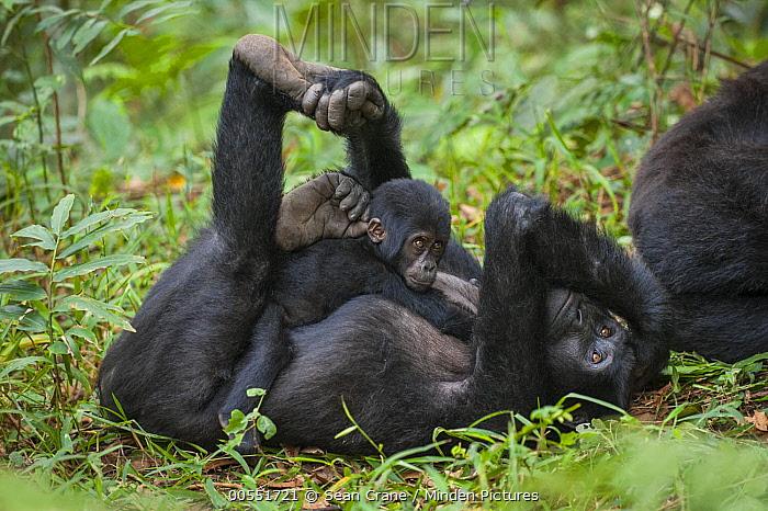 Mountain Gorilla (Gorilla gorilla beringei) mother and young, Bwindi Impenetrable National Park, Uganda  -  Sean Crane