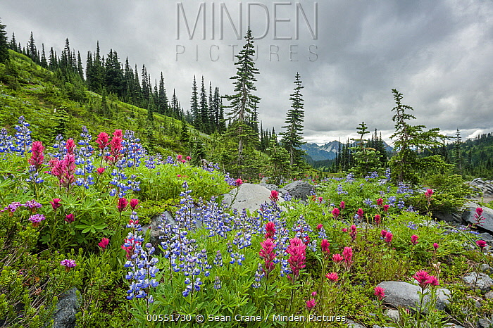 Broadleaf Lupin (Lupinus latifolius) and Mountain Indian Paintbrush (Castilleja parviflora) flowers in meadow, Mount Rainier National Park, Washington  -  Sean Crane