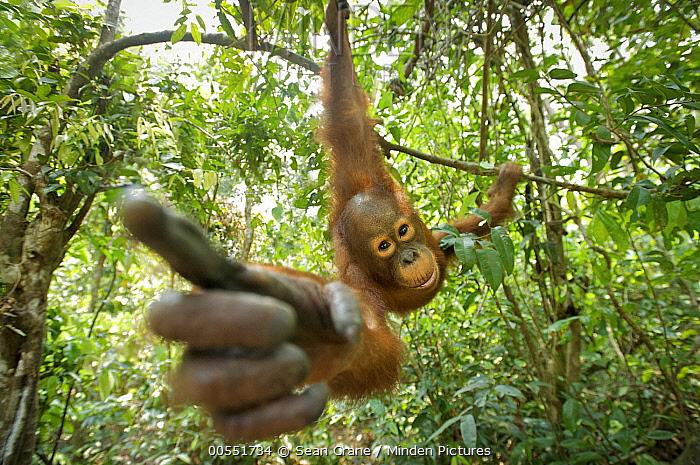 Orangutan (Pongo pygmaeus) juvenile investigating camera, Tanjung Puting National Park, Borneo, Indonesia  -  Sean Crane