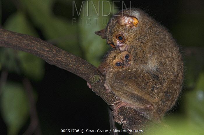 Spectral Tarsier (Tarsius tarsier) mother with young, Tangkoko Nature Reserve, Sulawesi, Indonesia  -  Sean Crane