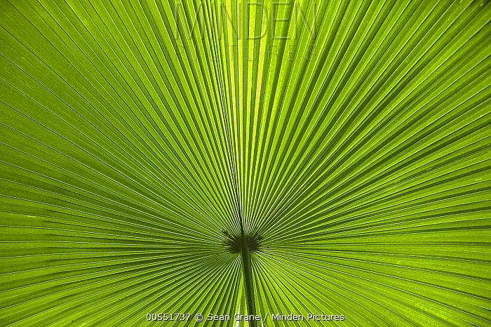 Palm frond, Tangkoko Nature Reserve, Sulawesi, Indonesia  -  Sean Crane