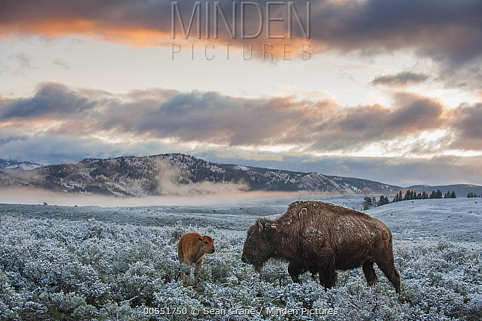 American Bison (Bison bison) mother and calf at sunrise, Yellowstone National Park, Wyoming  -  Sean Crane