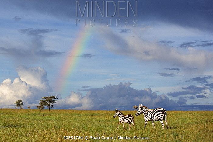 Zebra (Equus quagga) mother and foal near rainbow, Ol Pejeta Conservancy, Laikipia, Kenya  -  Sean Crane