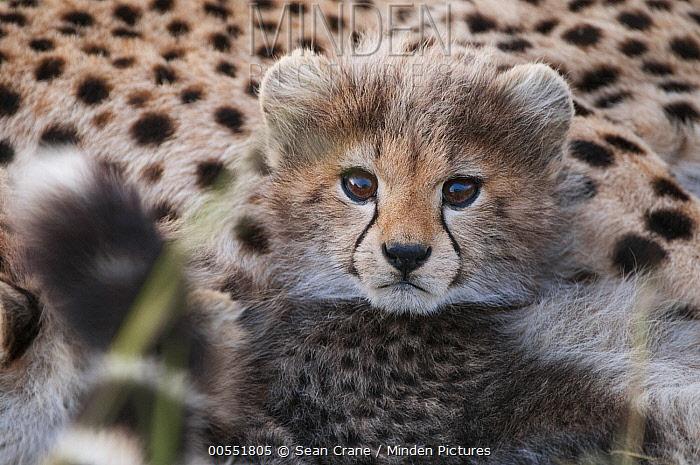 Cheetah (Acinonyx jubatus) cub, Masai Mara, Kenya  -  Sean Crane