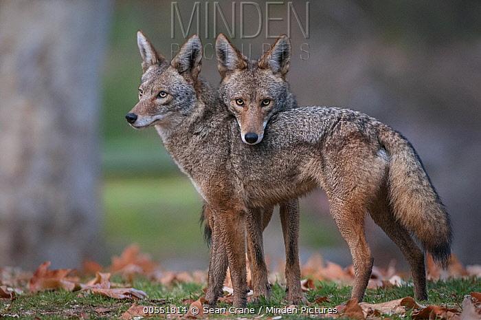 Coyote (Canis latrans) pair, Griffith Park, Los Angeles, California  -  Sean Crane