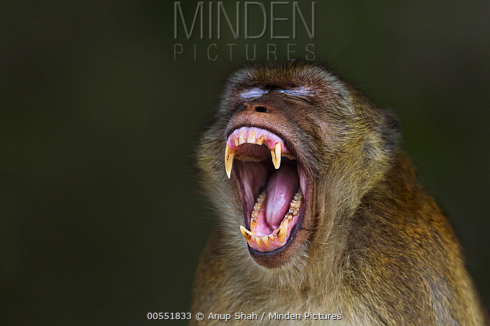 Long-tailed Macaque (Macaca fascicularis) male yawning, Khao Sam Roi Yot National Park, Thailand  -  Anup Shah