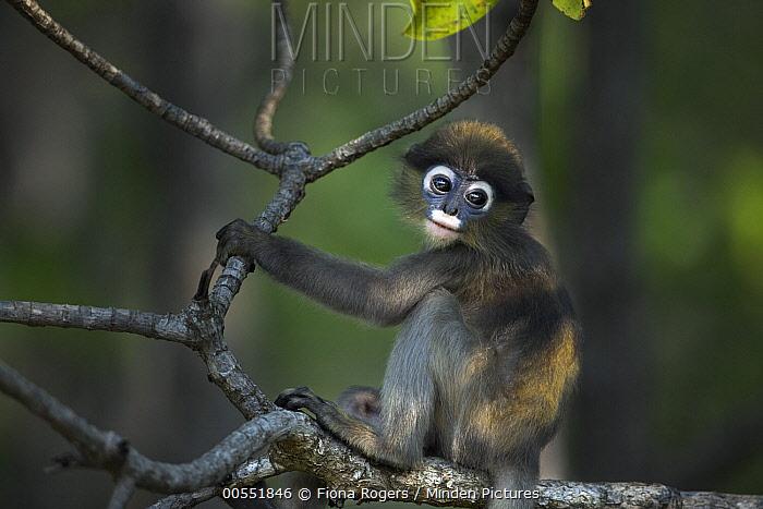 Dusky Leaf Monkey (Trachypithecus obscurus) baby, Khao Sam Roi Yot National Park, Thailand  -  Fiona Rogers