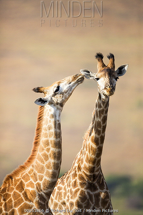 South African Giraffe (Giraffa giraffa giraffa) pair courting, KwaZulu-Natal, South Africa  -  Richard Du Toit
