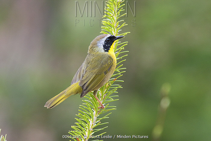 Common Yellowthroat (Geothlypis trichas), Maine  -  Scott Leslie