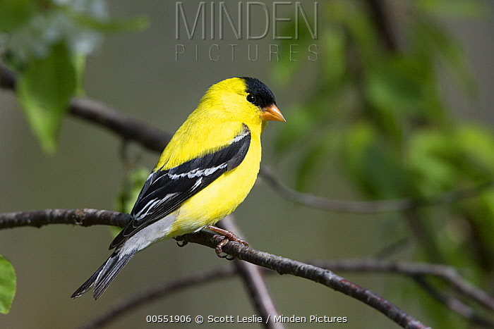 American Goldfinch (Carduelis tristis) male, Maine  -  Scott Leslie