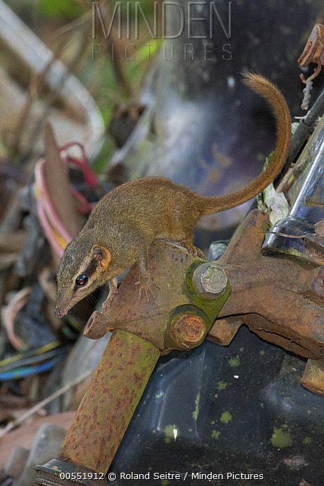 Northern Smooth-tailed Tree Shrew (Dendrogale murina), Seima Biodiversity Conservation Area, Cambodia  -  Roland Seitre