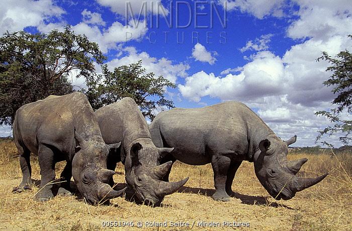 Black Rhinoceros (Diceros bicornis) trio grazing, Imire Safari Ranch, Zimbabwe  -  Roland Seitre