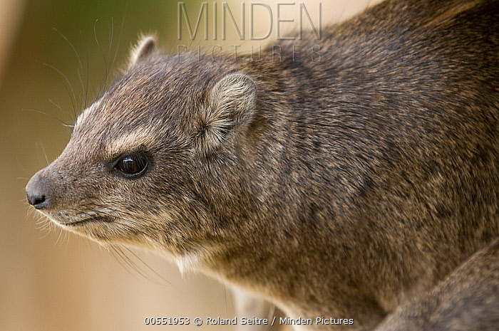 Small-toothed Rock Hyrax (Heterohyrax brucei), Kenya  -  Roland Seitre