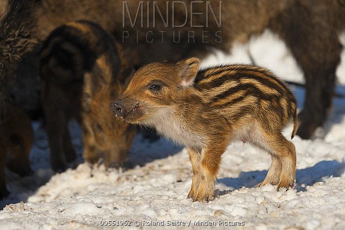 Wild Boar (Sus scrofa) piglet, Autreche, France  -  Roland Seitre