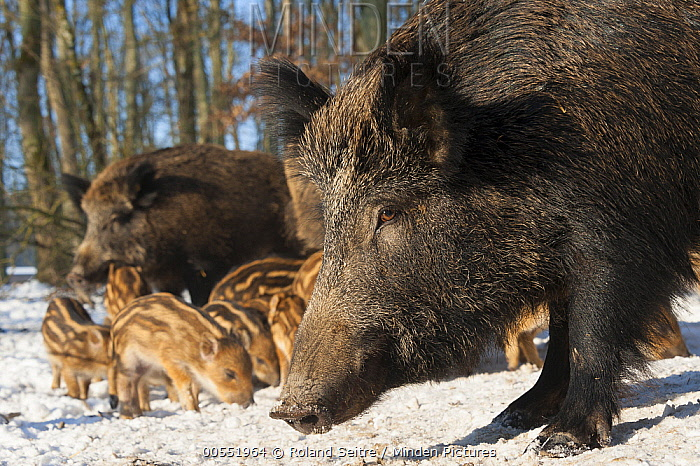 Wild Boar (Sus scrofa) group with piglets in snow, Autreche, France  -  Roland Seitre