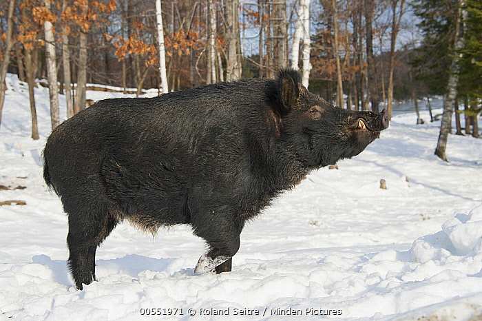 Wild Boar (Sus scrofa) in snow, Omega Park, Montebello, Quebec, Canada  -  Roland Seitre