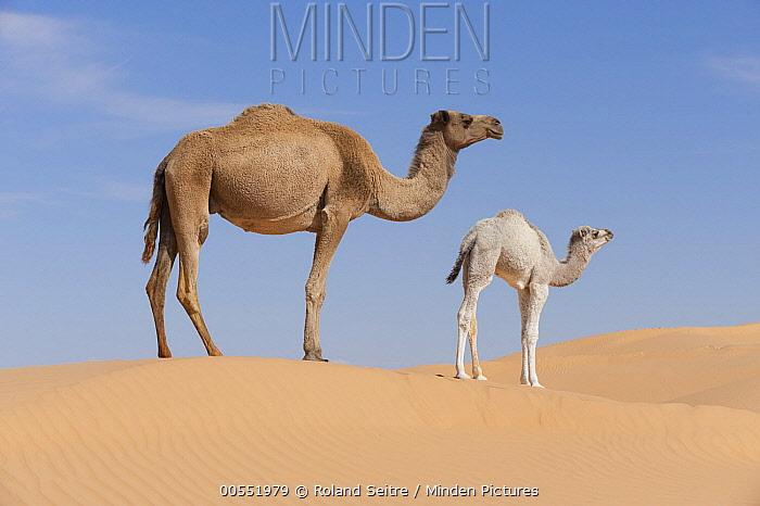 Dromedary (Camelus dromedarius) mother and calf in desert, Jebil National Park, Sahara Desert, Tunisia  -  Roland Seitre