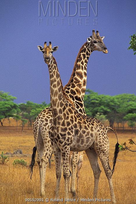 Southern Giraffe (Giraffa giraffa) pair, Imire Safari Ranch, Zimbabwe  -  Roland Seitre