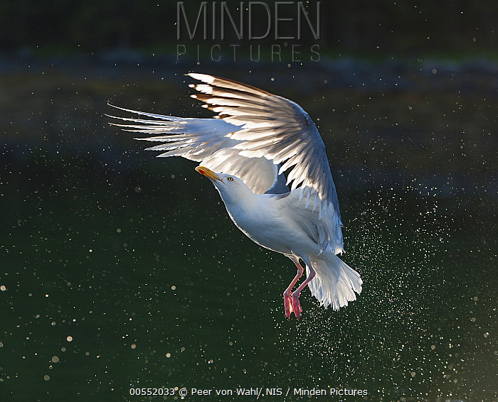 Herring Gull (Larus argentatus) flying, Flatanger, Norway