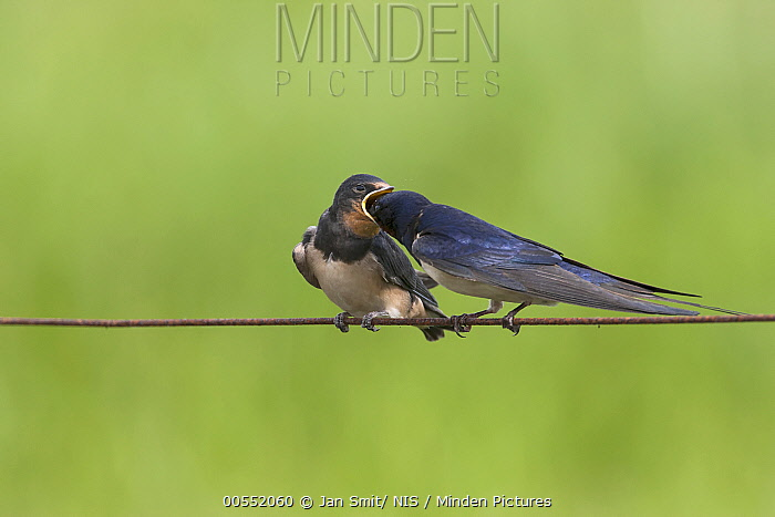 Barn Swallow (Hirundo rustica) parent feeding fledgling, Noord-Holland, Netherlands
