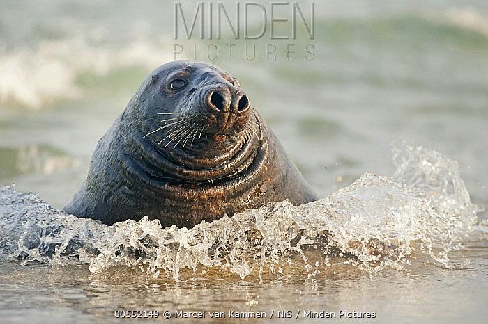 Grey Seal (Halichoerus grypus) in surf, Schleswig-Holstein, Germany