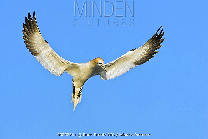 Northern Gannet (Morus bassanus) flying, Saltee Island, Ireland