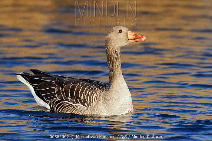 Greylag Goose (Anser anser), Noord-Holland, Netherlands