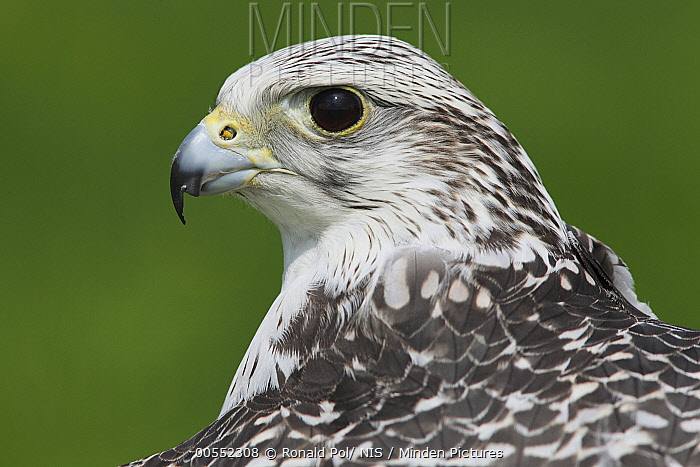 Gyrfalcon (Falco rusticolus), Zuid-Holland, Netherlands