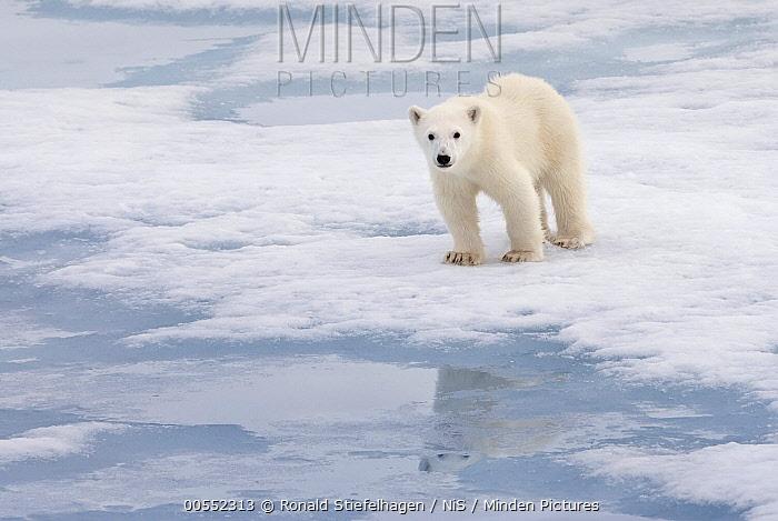 Polar Bear (Ursus maritimus) cub, Svalbard, Norway