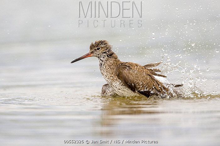 Common Redshank (Tringa totanus) bathing, Noord-Holland, Netherlands