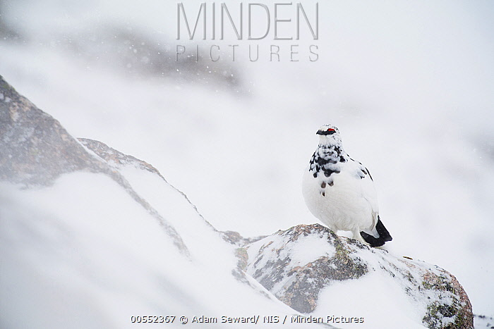 Rock Ptarmigan (Lagopus muta) male during snowfall, Cairngorms National Park, Scotland