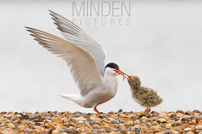 Common Tern (Sterna hirundo) parent feeding its chick, Noord-Holland, Netherlands