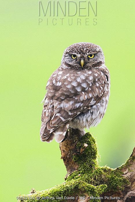 Little Owl (Athene noctua), Antwerp, Belgium